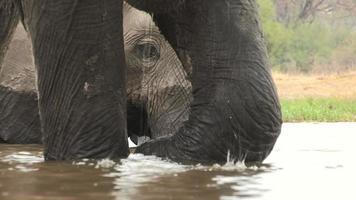 Ángulo inusual de elefante nadando y enmarcado por patas de otro elefante video
