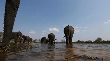 Vista de ángulo bajo inusual de elefantes bebiendo en un río en el delta del Okavango video