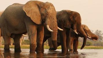 Manada de elefantes toro bebiendo en un río en el delta del Okavango video