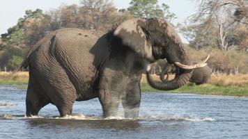 Un elefante toro caminando hacia un río y chapoteando en el delta del Okavango. video
