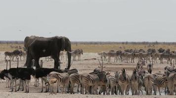überfülltes Wasserloch mit Elefanten, Zebras, Springbock und Orix