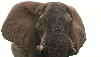 Retrato de elefante toro con orejas extendidas mirando hacia la cámara video