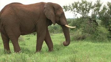 Grazing elephant in the bush
