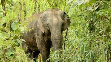 asia elephant