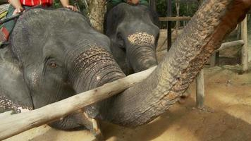 elefante asiatico video