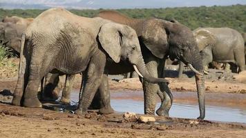 afrikanische Elefanten am Wasserloch video