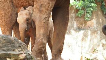 eine Baby afrikanische Waldelefantenfamilie, die spielt.
