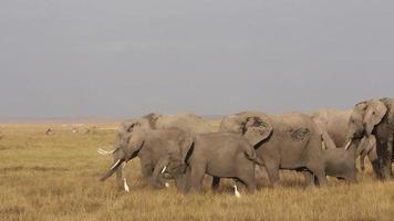 elefanti africani che si alimentano