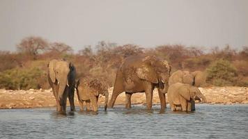 Afrikaanse olifanten drinkwater video