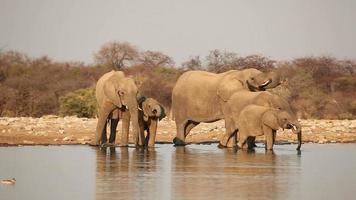 African elephants drinking water video