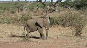 Young elephant running in Serengeti