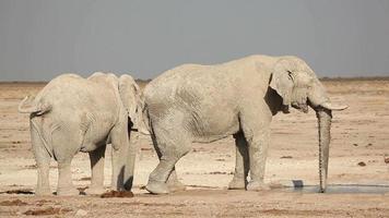 elefantes africanos en el abrevadero video