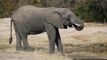 African elephant drinking video