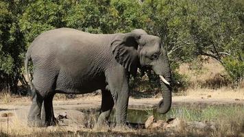 elefante africano, en, charca video