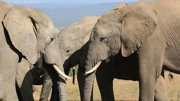elefantes africanos interactuando video