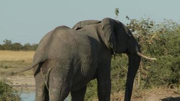exibição de dominância de elefante