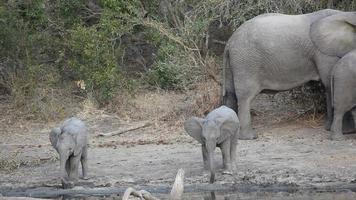 Baby African elephants video