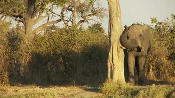 éléphant frottant
