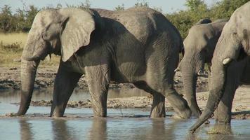 elefantes bebendo