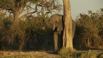 Elefant reiben