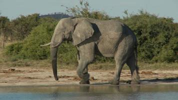 wandelnder Elefant