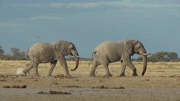 Elefanten gehen