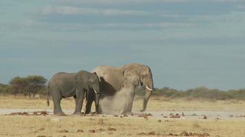 Elephant dust bath video