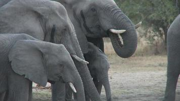 bebiendo elefantes