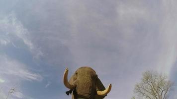 Imágenes espectaculares en cámara lenta de elefantes caminando directamente sobre la cámara video