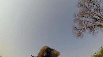 Spectacular footage of elephants walking directly over camera video