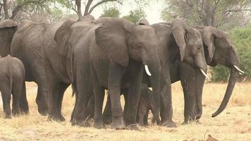 Manada de elefantes formando un escudo protector alrededor del bebé recién nacido, Botswana