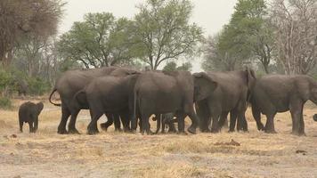 manada de elefantes formando escudo protetor em torno do bebê recém-nascido, botswana video
