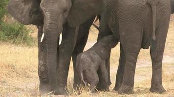 filmati incredibili di elefantino appena nato che tenta di allattare dalla madre, botwana