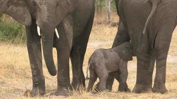 imagens incríveis de um bebê elefante recém-nascido tentando mamar na mãe, botwana video