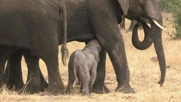 Bebé elefante recién nacido luchando por ponerse de pie, Botswana