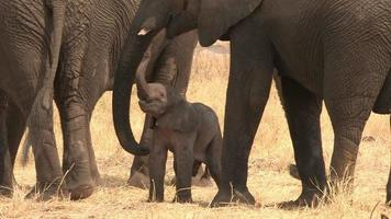 pasgeboren olifantenbaby worstelt overeind, botswana video