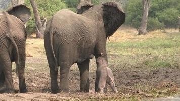 bambino elefante appena nato che lotta per i suoi piedi, Botswana