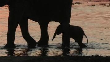 Manada de elefantes y bebé recién nacido, delta del Okavango, Botswana