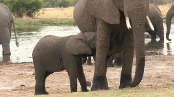 Bebé elefante mamando de la madre, Botsuana