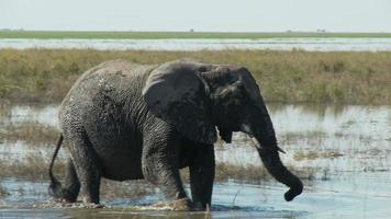 elefante che cammina