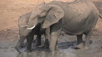 câmera lenta do banho de lama da família dos elefantes, botsuana video