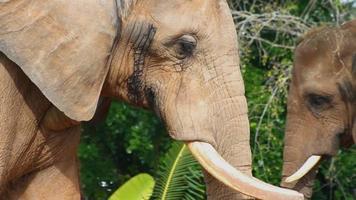 éléphant marchant