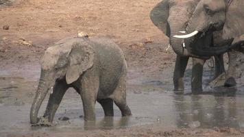 slow motion van modderbad olifantenfamilie, botswana video