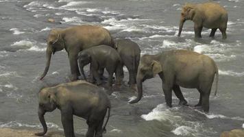 manada de elefantes en un río