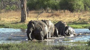 Troupeau reproducteur d'éléphants traversant la rivière dans le delta de l'Okavango