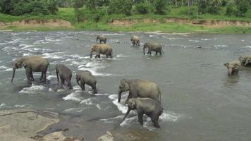 elefantes en un río