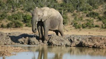 elefante africano no poço video