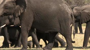 Manada de elefantes mojados después de beber, delta del Okavango, Botswana