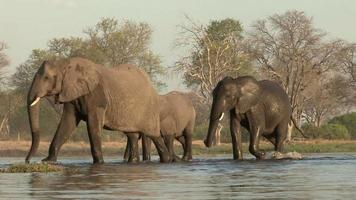 elefanti che attraversano un fiume nel delta dell'okavango, botswana