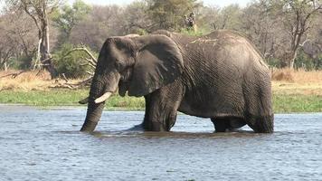 Elefantes cruzando un río en el delta del Okavango, Botswana